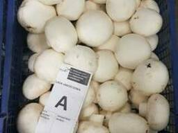 Fresh quality champignons from Poland - photo 1