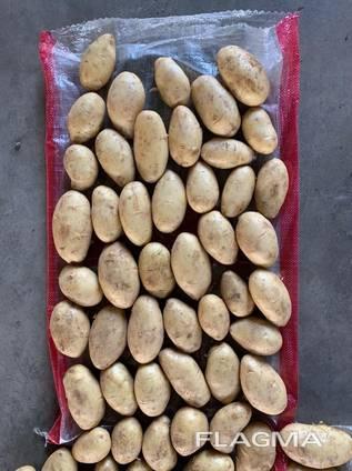 Картофель Спунта