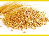 Pšenice - фото 1